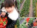 草莓采摘新鲜草莓