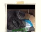 (阿城名猫)蓝猫种公对外借配(500元)