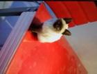 自家小暹罗猫无病无藓健康纯正