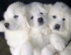 济南本地犬舍出售2个多月的,大白熊,血统纯正,保证健康