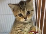 折耳小猫3个月。。。