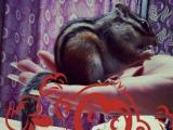 可爱萌宠家园金花魔王黄山松鼠