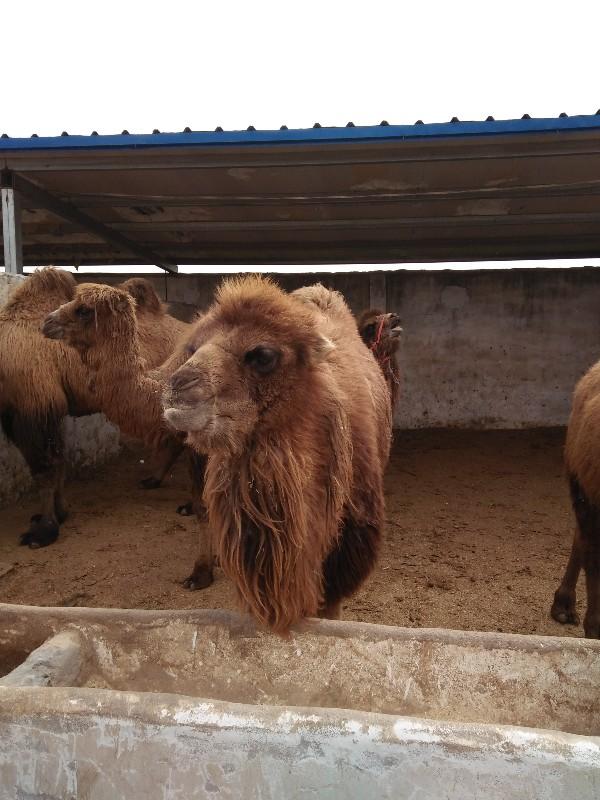 矮马出售多少钱一匹羊驼骆驼的价格黑天鹅鸵鸟孔雀