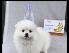 自家繁殖的一窝纯种球形博美幼犬转让、超萌的、包健康
