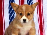 上海出售进击的小短腿 纯种 小柯基幼犬柯基犬随时可以看狗