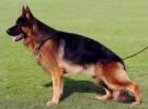 纯正德国牧羊犬 包健康 品相**
