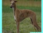 出售黑白全活猎兔格力犬赛级犬血统纯正保健康