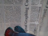 含浦出售泰国斗鱼 松鼠 兔子 虎皮鸟