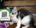 东莞哪里有虎斑猫出售 东莞虎斑猫价格 虎斑猫多少钱