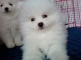 贵阳出售 纯种博美幼犬,包犬温细小,签订纯种健康