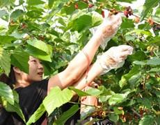 特价78享上海长岛庄园休闲一日游摘樱桃采桑葚 户外真人CS
