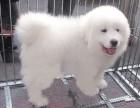 重庆萨摩耶幼犬多少钱一只重庆哪里有卖萨摩耶 萨摩耶价格