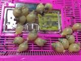 明珠蜗牛,宠物蜗牛