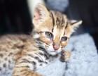 温州哪里有孟加拉豹猫卖 野性外表温柔家猫性格 时尚 漂亮