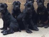 双血统卡斯罗犬幼犬 大头版大骨架 疫苗齐全视频选狗