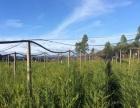 各种规格红豆杉、榉木苗低价转让