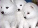 北京哪有日本尖嘴犬卖 北京日本尖嘴犬多少钱 日本尖嘴犬图片