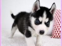 出售精品纯种 哈士奇幼犬 批发零售均可包健康