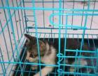 萌猫百分百宠物猫出售短毛猫