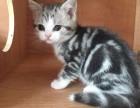 美短加白美国短毛猫家养活体幼猫宠物猫虎斑加白纯种