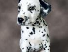 纯种的斑点狗多少钱 宠物店的狗靠谱吗