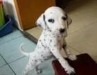 舟山哪里有出售斑点狗幼犬的 纯种斑点狗幼犬多少钱一只