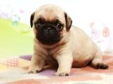 出售巴哥犬哈巴狗矮脚鹰嘴憨厚纯种健康精品幼犬宠物狗狗