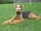 万能梗幼犬梗王梗类犬伴侣犬出售可视频签协议质保包邮