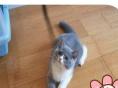 甜猫屋出售纯蓝蓝白渐层等各色英短与折耳