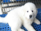 大白熊价格 大白熊多少钱 纯种大白熊多少钱一只