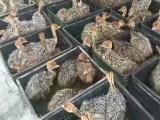 非洲鸵鸟苗出售 全国各地均可