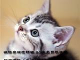 专业猫舍繁殖美国短毛猫美短纹路清晰疫苗驱虫已做