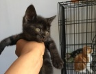 家养美短虎斑猫出售