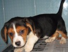 比格幼犬出售中 驱虫 防疫已做完 健康有保障
