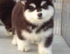 赠送用品 签协议 终身售后服务 纯种 阿拉斯加犬