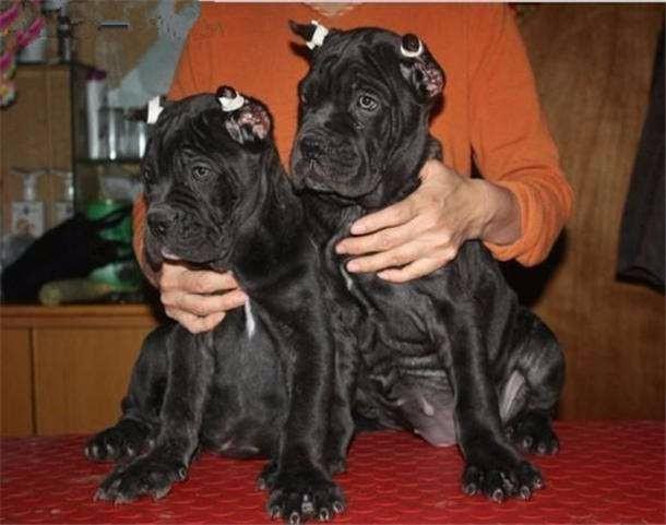 左家庄宠物狗市场出售卡斯罗幼犬,三个月幼犬全国发货配送