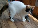 多只加菲带肚成母跟小猫低价出