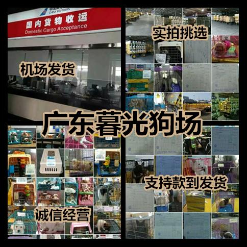东莞哪里有出售纯种比熊犬 哪里买到健康的宠物狗 广东暮光狗场