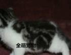 《美短》加白宠物猫美短美短幼猫纯种活体美短宠物猫