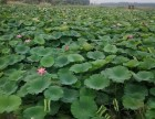 出售荷花苗,水生植物