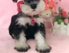 郑州纯种雪纳瑞价格 郑州哪里能买到纯种雪纳瑞犬