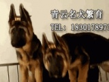 德国牧羊犬 纯种黑背德牧幼犬找好人 骨架大品相好 喜欢联系!