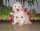 本地出售纯种大白熊 大骨架 保健康 可上门挑选