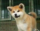 转让了自家的爱犬————日本秋田犬了实物图了喜欢看