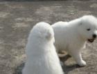 本地家养的一窝纯种萨摩耶幼犬转让 喜欢的联系我看狗