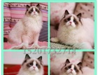 自家猫舍--超贵族的布偶猫--布偶猫--撒娇粘人