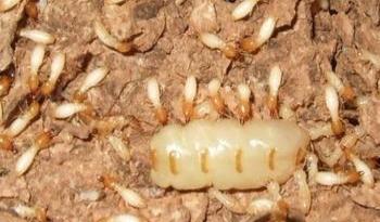 【百灵虫控】角美专业白蚁灭杀,预防。四害消杀