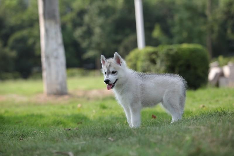 出售纯种哈士奇幼犬 赛级品质 健康质保 免费送