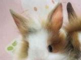 艺大农场出售各种宠物兔 垂耳兔 侏儒兔 道奇兔 猫