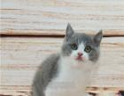 英短 蓝白/蓝白双色蓝白猫纯种英国短毛猫包纯种